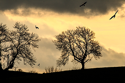 Wild Winter's evening on the Welsh / Herefordshire border.  Red Kites having a last look for any food.